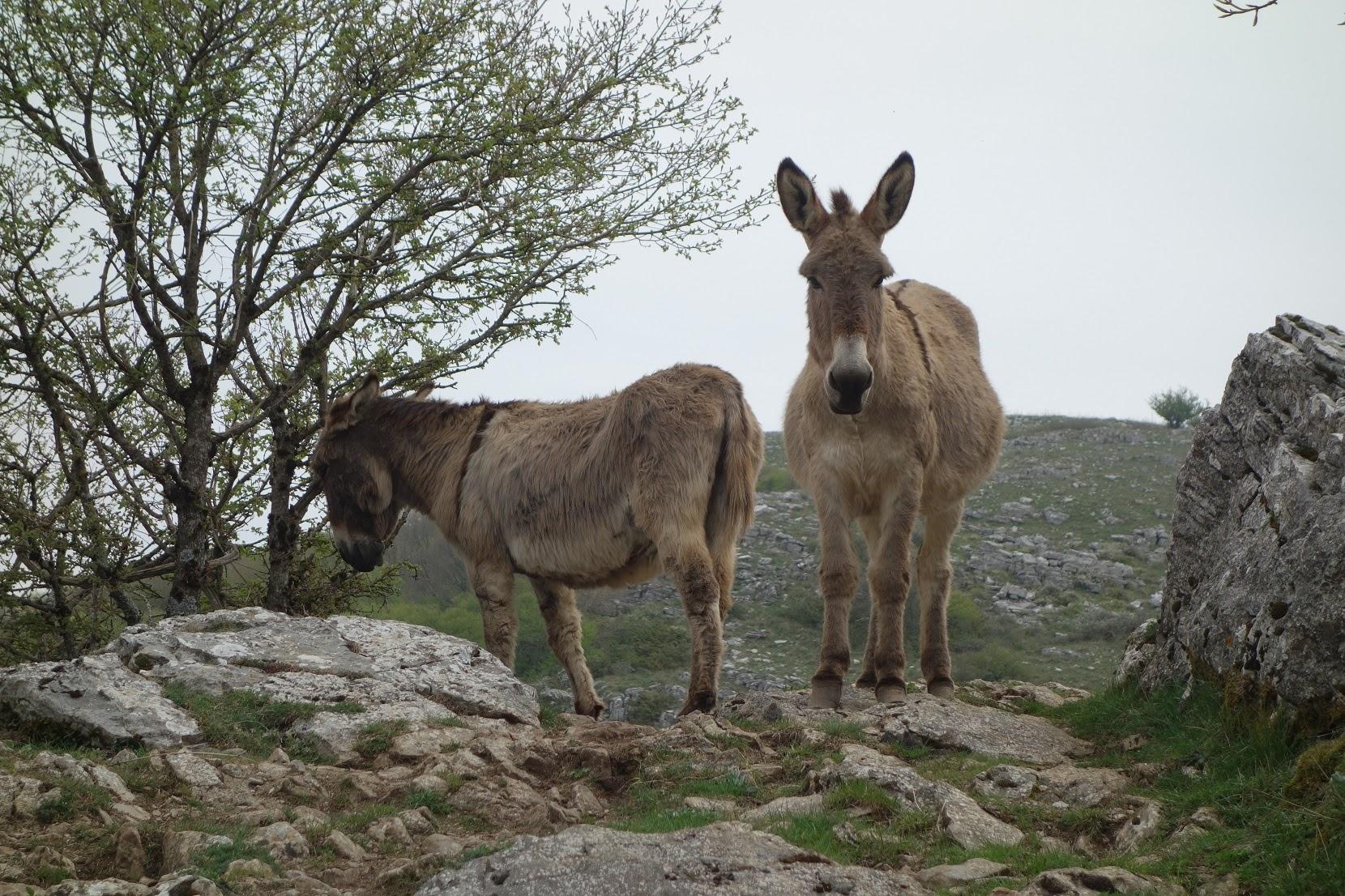 Die Monte-Amiata - Esel