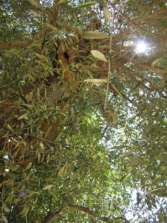 Gesicht im Olivenbaum