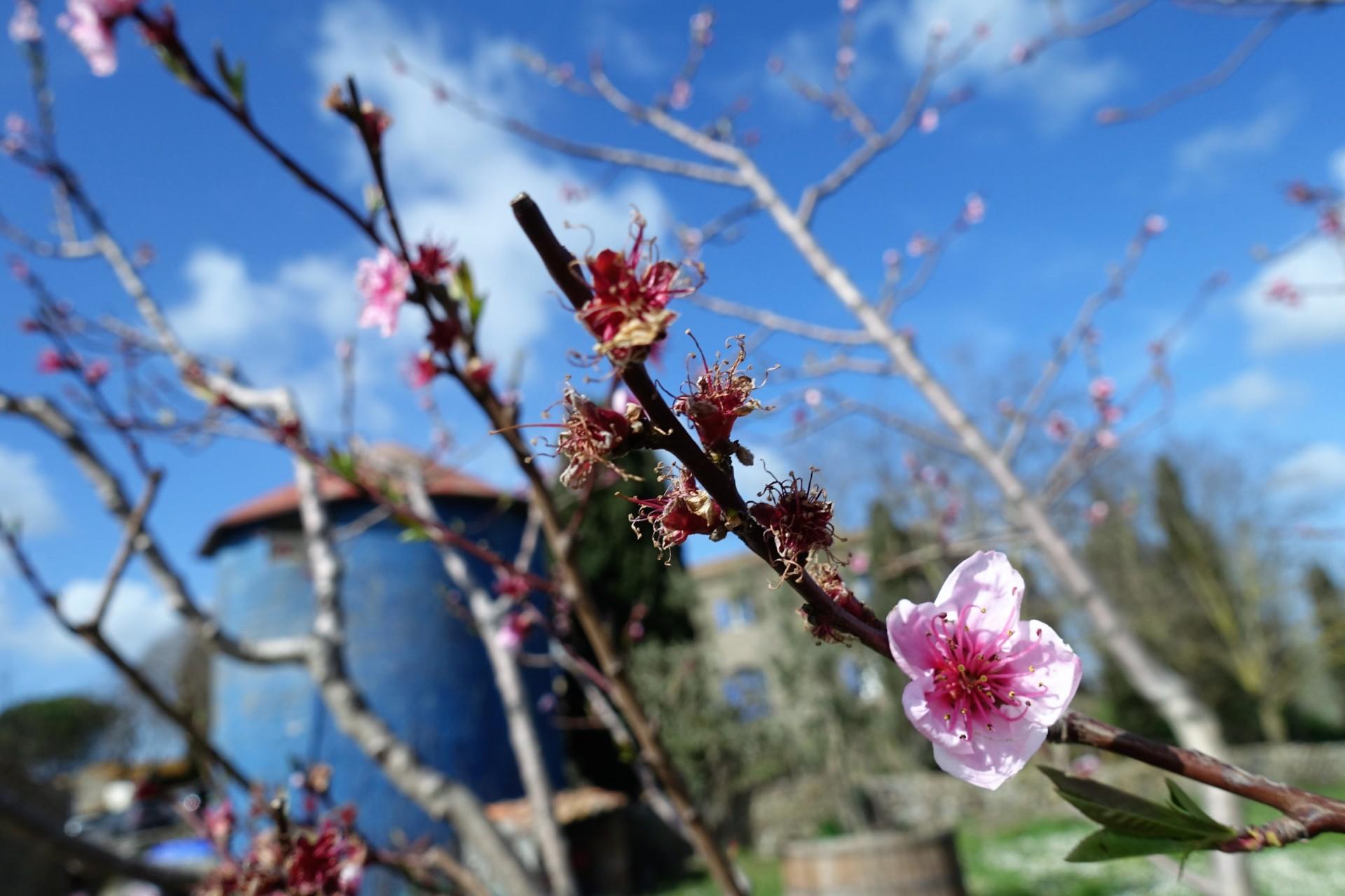 Pfirsichblüten, La Capitana Magliano