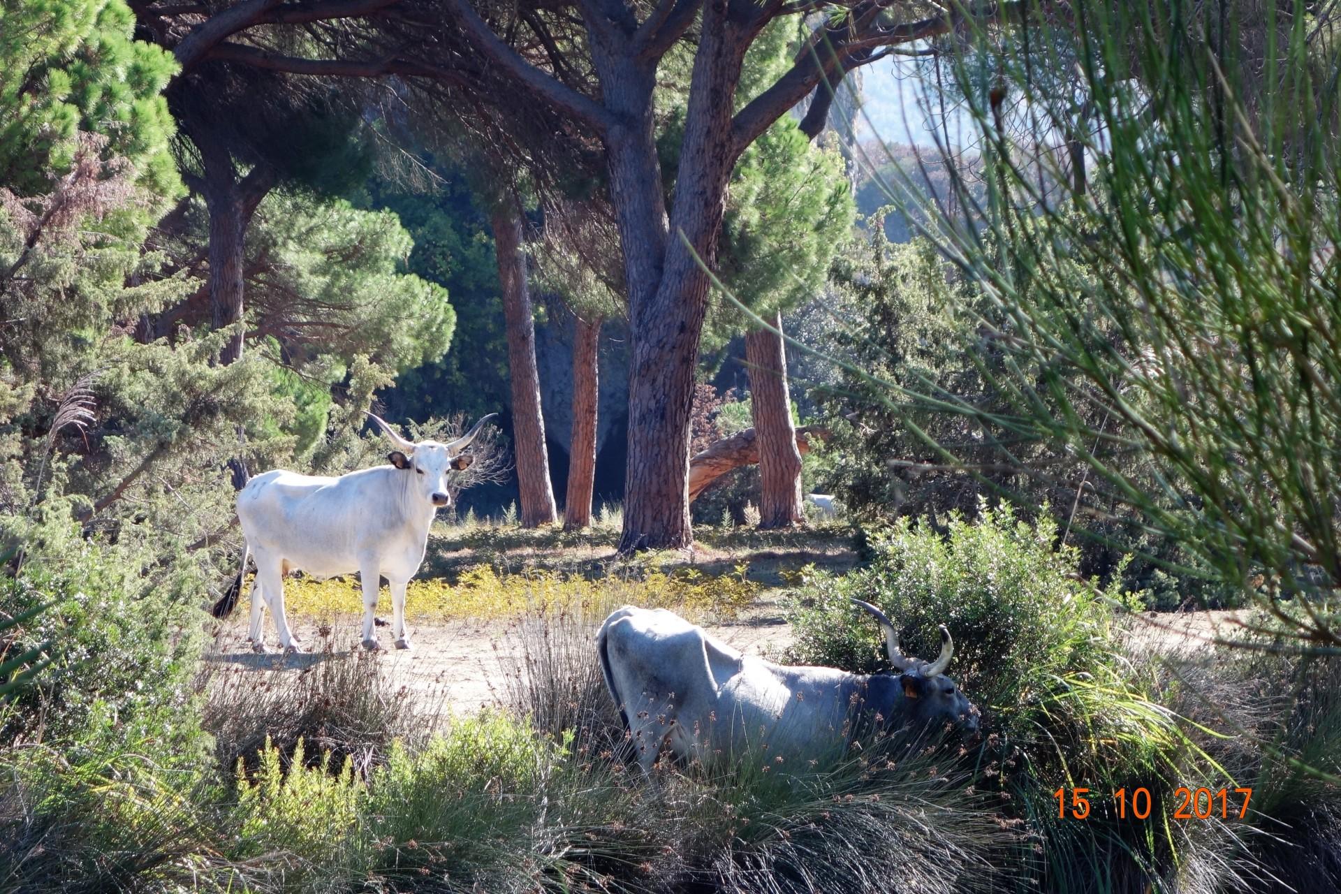 Wie im Märchen - die Maremma - Kühe frei im Park