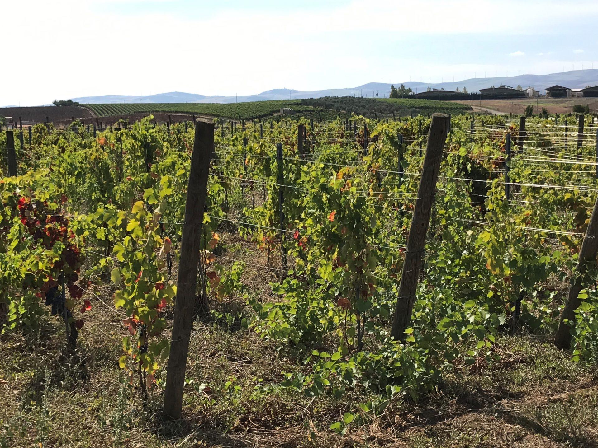 Die Weinberge von Grifalco